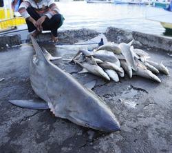 sharks dead at fish market - shark fin