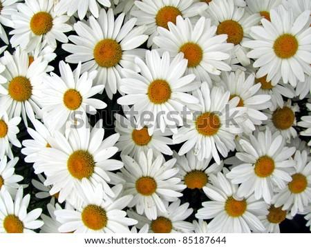 shasta daisies in colorado