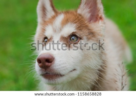 Free Photos Close Up On Red Eyes Of Cute Siberian Husky Puppy