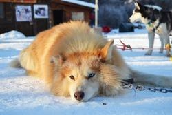 Siberian husky  waiting to pull the  dog sledding in Ushuaia, Tierra del Fuego, Argentina