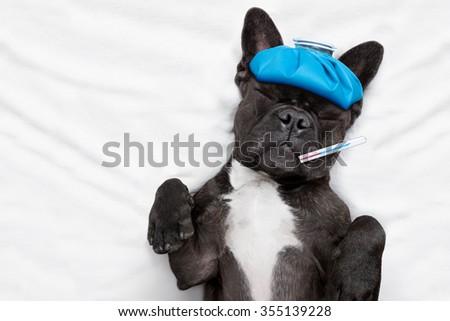 sick ill dog  with  headache in bed sleeping