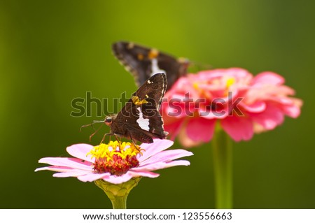 2 Silver-spotted Skipper butterflies sitting on Zinnias..