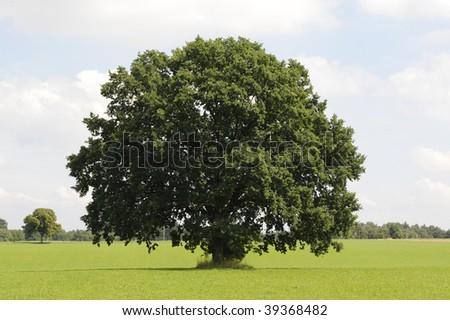 single oak tree with perfect treetop