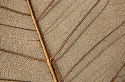 Skeleton of peepal tree leaf used to paint on it