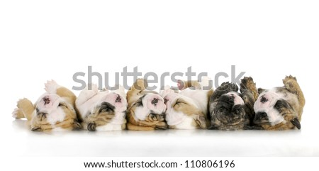 sleeping puppies - litter of sleeping english bulldog puppies on white background - 4 weeks old