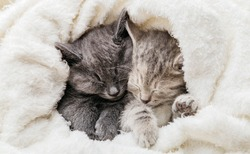 2 sleepy kittens cuddle up sleep comfortably in white blanket. Family couple of cats are resting together.Two gray and tabby beautiful domestic kitten in love hugging. Long web banner with copy space.