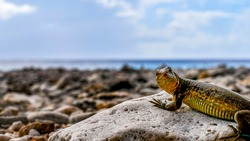 Small and colorful iguana rides a rock on the beach to ask me to take a picture of her by the sea on her first trip to bonaire.