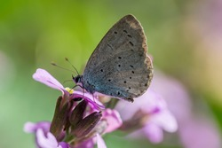 Small blue butterfly tacking nectar from a Erysimum Bowles Mauve wallflower