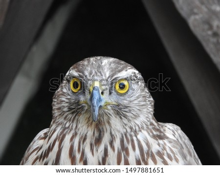small eagle (hawk, peregrine falcon) - portrait (only head and beak) anface