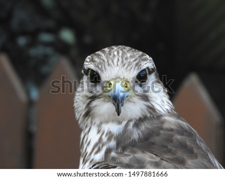 small eagle (hawk, peregrine falcon) - portrait (only head and beak) - anface