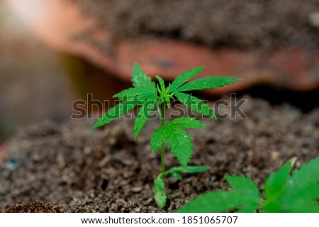 Small hemp plants in the soil.Nature outdoor.Marijuana is used for medical purposes. Stock photo ©