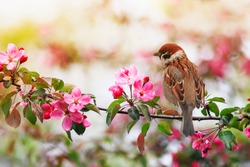 small sparrow bird sits on a branch with pink flowers of an apple tree in a May sunny garden