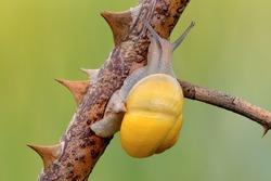 Small white-lipped snail crawling between thorns, closeup. Genus species Cepaea hortensis.