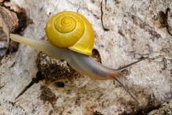 Small white-lipped snail crawling on old wood, closeup. Genus species Cepaea hortensis.