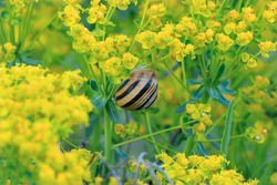 Small white-lipped snail on a meadow plant with yellow flowers. Genus species Cepaea hortensis.