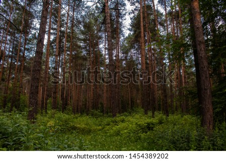 Solid pine forest in summer #1454389202