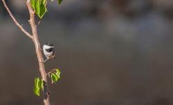 Sombre Tit (Poecile lugubris) is a rare songbird.