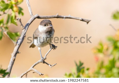 Sombre Tit (Poecile lugubris) is a songbird that lives in mountainous and forested areas in Asia and Europe. Photo stock ©