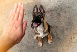 Someone is training a puppy. Sit command. A female hand indicates the command to the German Shepherd puppy to turn gray.