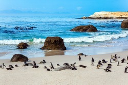 South Africa. Large flock of spectacled penguins resting on a sandy ocean shallow. Penguin Conservation Area near Cape Town. Sandbank with large rocks and algae.