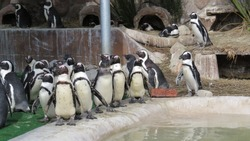 southafrican penguins waiting their meal