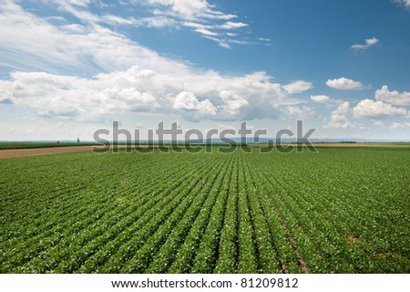 soy field in early summer