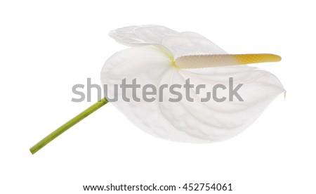 spadix ,White anthurium  flower isolated on white background