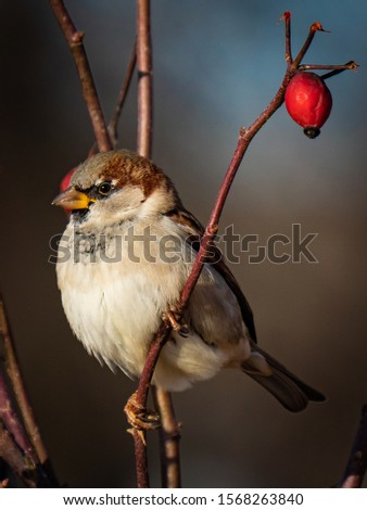 Sparrow. Photo of a sparrow in the wild. Sparrow on the tree branches.  Close-up. #1568263840
