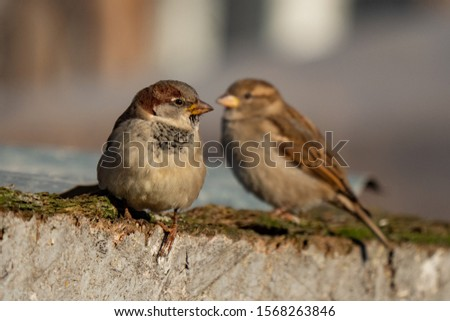 Sparrow. Photo of a sparrow in the wild. Sparrow on the tree branches.  Close-up. #1568263846