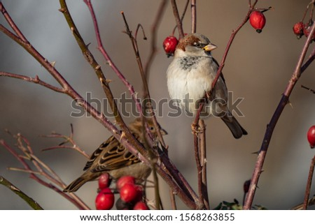 Sparrow. Photo of a sparrow in the wild. Sparrow on the tree branches.  Close-up. #1568263855