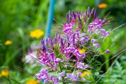 Spider flower,Cleome spinosa (Klee-OH-mee spye-NOH-suh)