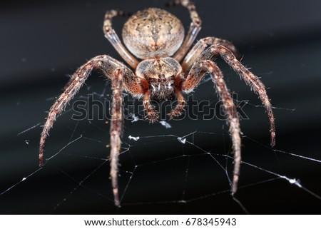 Spider. Macro photo of garden spider on spider web over natural black background