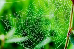 spider web or cobweb with water drops after rain against green
