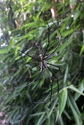 spiders nest on bamboo trees