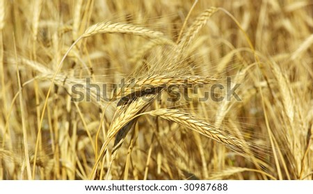 Spikes of the wheat in the yellow field.