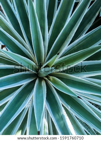 Spiny green leaves with a white green color, closeup