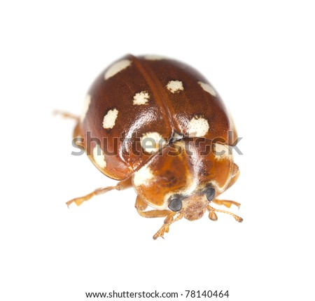 14-spot ladybird (Calvia quattuordecimpunctata) isolated on white background, extreme close up with high magnification, focus on eyes