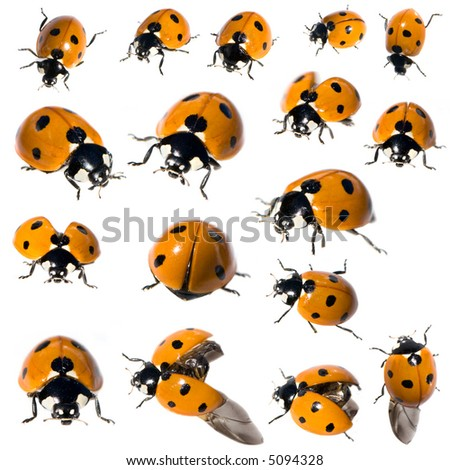 7 spot ladybird in different positions in front of a white background