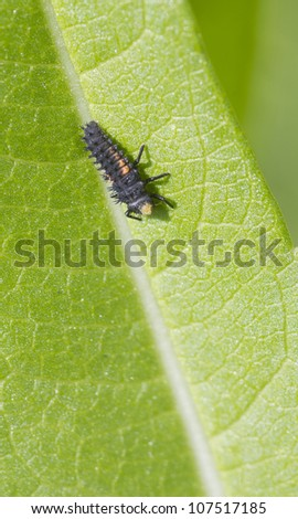 7-spot Ladybird Larvae on a leaf closeup