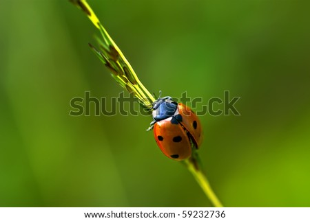 7 spot Ladybug on grass stem