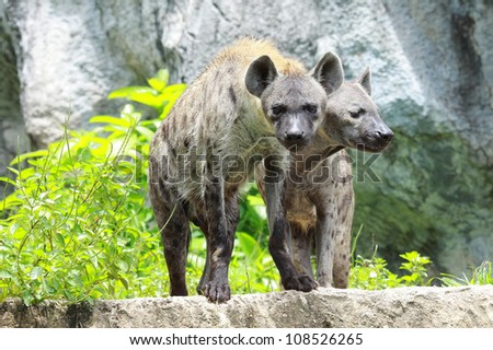 Spotted Hyena standing amongst the rocks