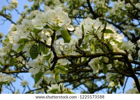Spring blooms with white millions Blossom                     #1225573588