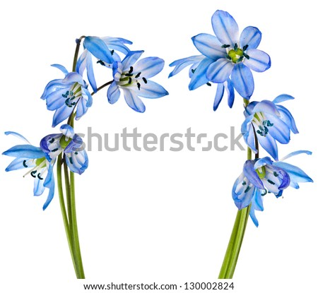 spring flower scilla snowdrop  isolated on white background