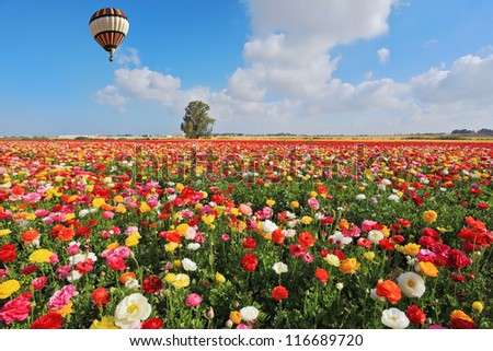 Spring  in Israel.  Bright striped balloon flies over a field of colorful garden of buttercups.