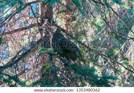 Spruce Grouse in Spruce Tree                              #1353480362