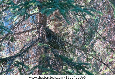 Spruce Grouse in Spruce Tree                              #1353480365