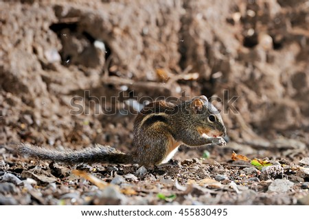 Squirrel in a forest at Kaeng Krachan National Park,Phetchaburi Province, Thailand #455830495