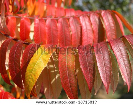 """""""Staghorn sumac"""" leaves in autumn colors."""