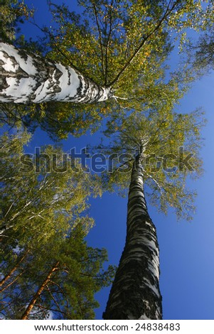 1 stand of aspen trees looking up