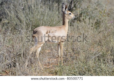 steenbok (Raphicerus campestris) in the kalahari. the injury on its flank shows a close call with a predator. - stock photo